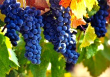 Napa valley wine grapes